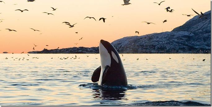 whale_orca