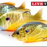 「Sunfish Hollow Body」っていうギル型のフロッグが斬新! 日本でもフツーに釣れそう。
