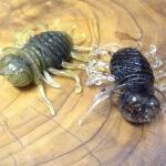 「忍虫(にんむし)」、デュオから毛入り・ソルト入りの虫系ルアーが新登場