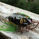 オータニ昆虫館「クマゼミ」入手。ゴキブリのようなキモい脚がとっても魅力的