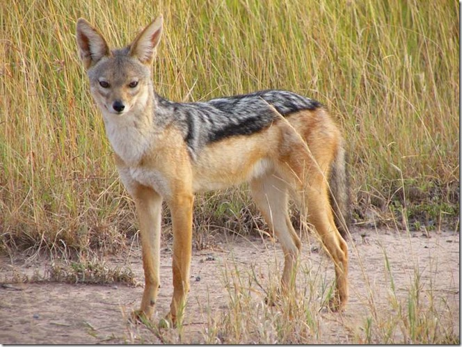 Jackal-facts-and-images 05