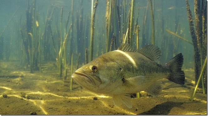 largemouth-bass-in-the-reeds-eric-engbretson