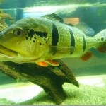 「東京タワー水族館」はピーコックバスとかアロワナとかピラニアとか、世界中の淡水魚がいるらしい。